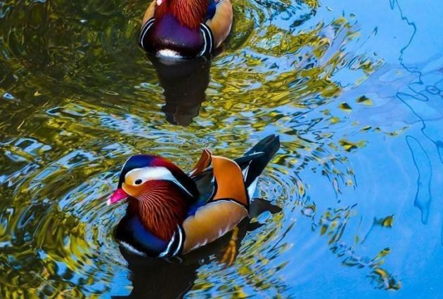 Two Ducks Swimming Around in their Rightful Environment a Pond