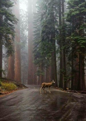 A Deer Crossing the Road in the Forest with an Unnatural Road Going Through it