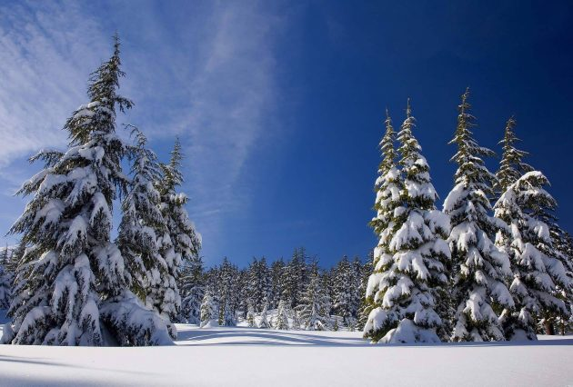 Freshly Dusted Snow Covered Trees in the Untouched Outback Nature of British Columbia